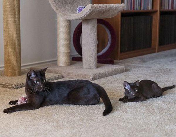 кішка і кошеня Гавана браун