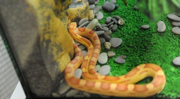 Змія в домашніх умовах