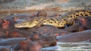 Сусідство бегемотів і крокодилів