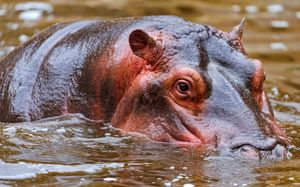бегемот плаває