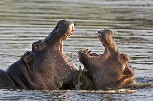 Два бегемота ділять територію