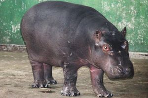 Гіпопотам - будова тіла
