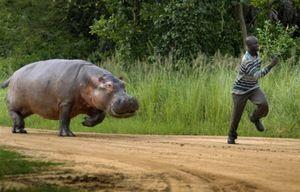 Гіпопотам женеться за людиною