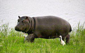 Гіпопотам в пошуках їжі