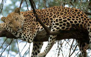 Спосіб життя гепарда