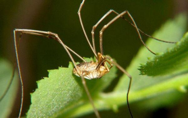Pavúk kosa