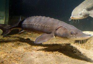 Jeseterové ryby