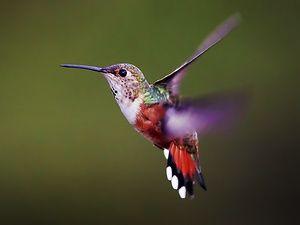 Як літає колібрі