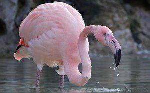 Забарвлення птиці фламінго