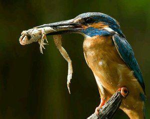 Полювання зимородка