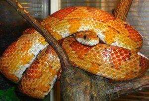 Къде да съхранявам и как да храним змийската змия у дома?