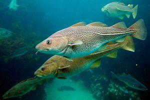 Атлантична тріска - особливості риби