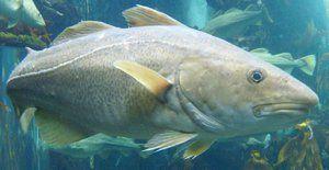 Харчування атлантичної тріски - хижої рибки