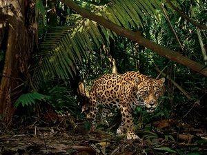 Житла ягуарів