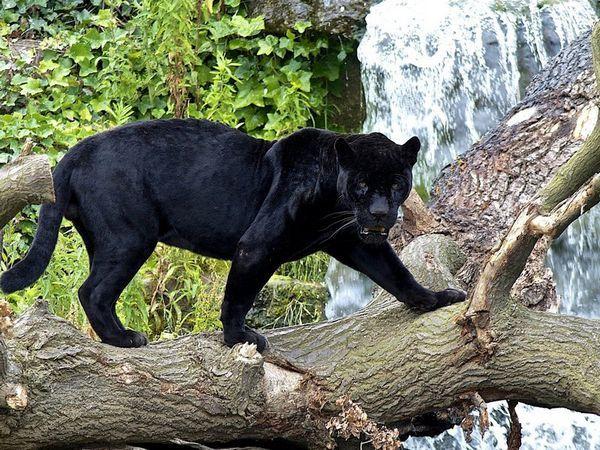 Опис зовнішнього вигляду чорної пантери
