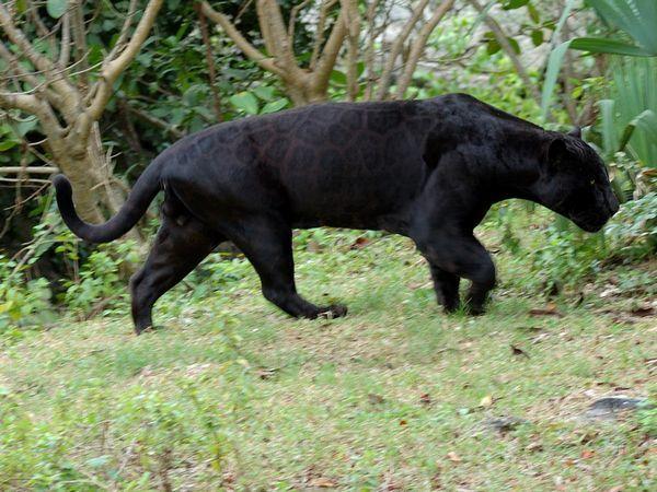 Відмінності чорного ягуара від чорної пантери
