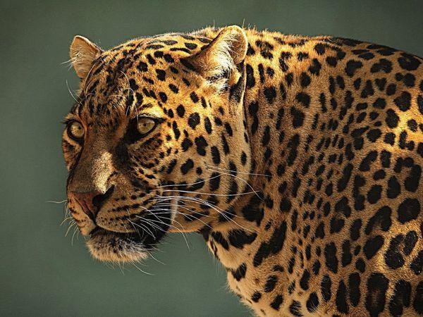 Опис відмінностей підвидів ягуарів