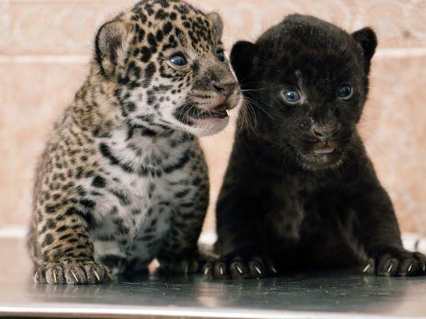 Зовнішній вигляд кошенят ягуарів