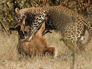 Опис процеси полювання ягуарів