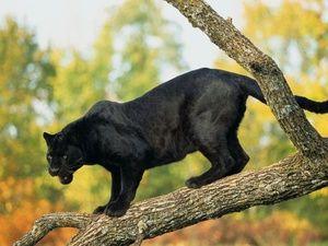 Характерні особливості чорних пантер