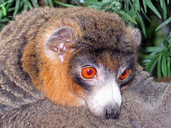 Монгоц - лемур, розміром з кішку, харчується квітами, фруктами і листям