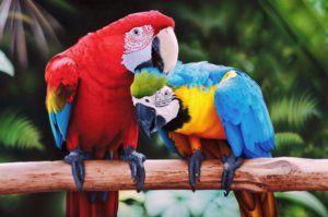 Kde vo voľnej prírode žijú papagáje