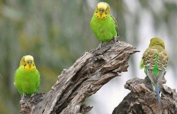 Хвилясті папуги в дикій природі