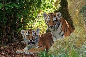 Тигр - представник роду пантер