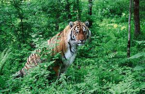 різновиди тигрів