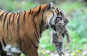 Виведення потомства тиграми