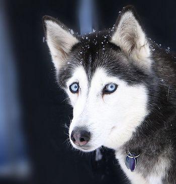 лікування собаки хворий гепатитом