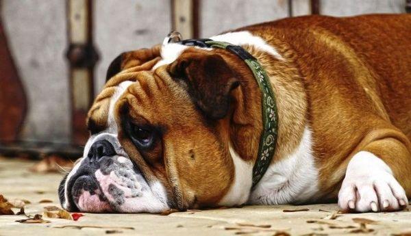 млява собака