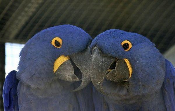 пара папуг