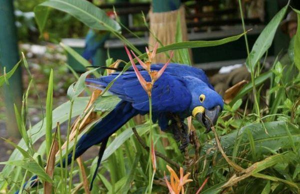 Гіацинтовий ара