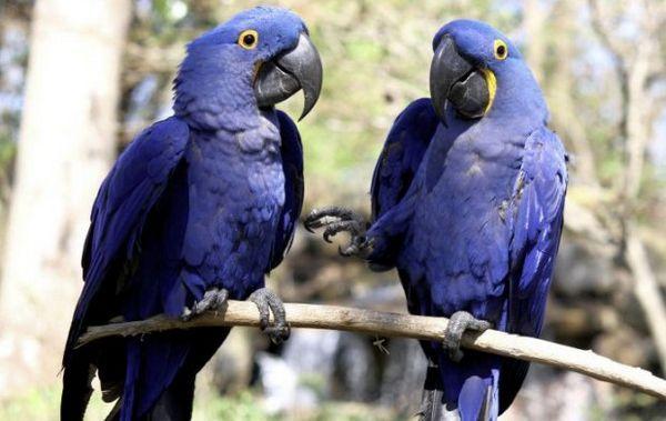 гіацинтові папуги