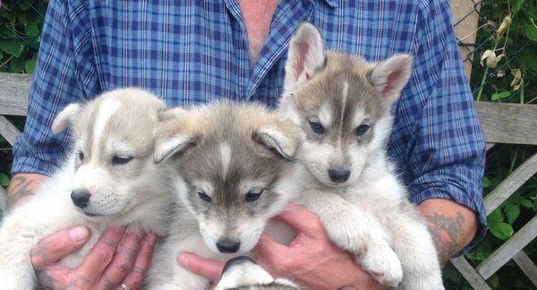 Гібрид собаки і вовка
