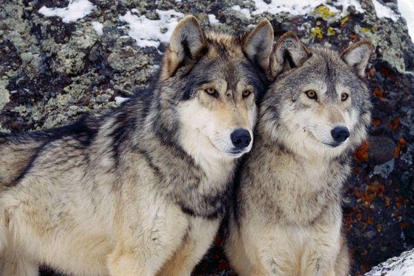 пара волкособи