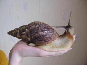 Giant achatina: údržba a starostlivosť o slimáky