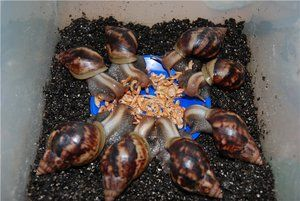 Їжа равликів ахатин