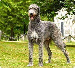 Порода собак ірландський вовкодав
