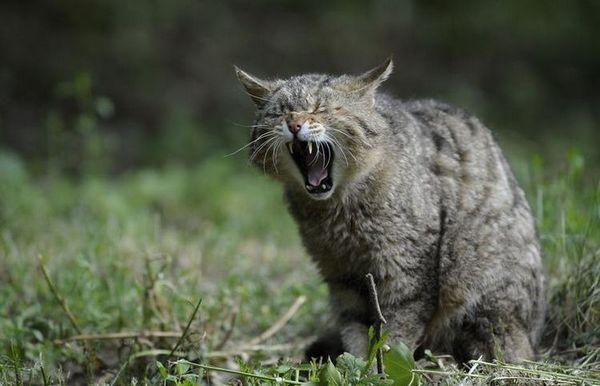 Gingivitída u mačiek: príznaky a liečba