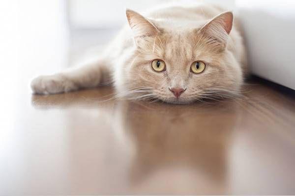 Hypertyreóza u mačiek - porucha činnosti štítnej žľazy
