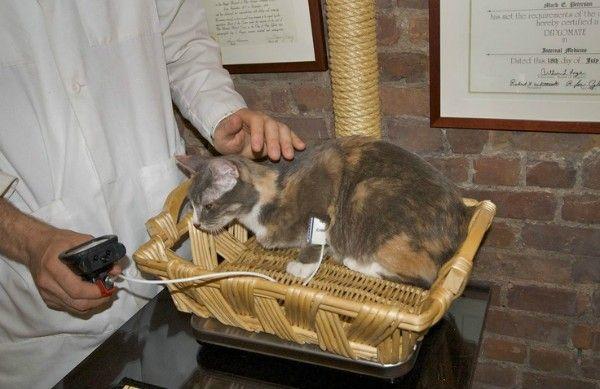 Hypertenzia - vysoký krvný tlak u mačiek