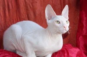 Біла кішка Корніш-рекс
