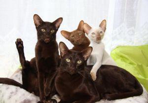 Яванские кошки и котята