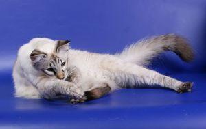 Балинезийская кішка на виставці
