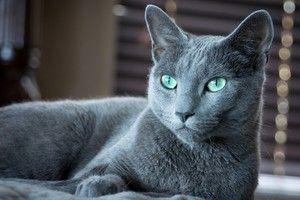 Російська блакитна кішка з виразним погляд