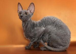 Симпатична кішка Корніш-рекс