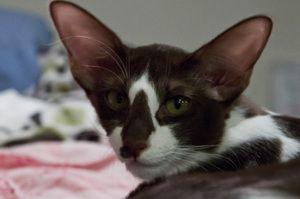 Яванська кішка голова крупним планом