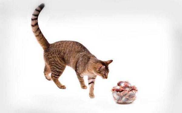 Кот і курячі шлунки